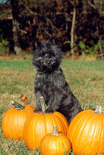 DOG 02 CE0013 01 © Kimball Stock Cairn Terrier Standing On Pumpkin By Trees