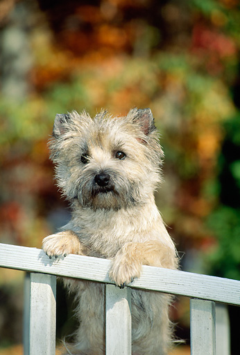 DOG 02 CE0015 01 © Kimball Stock Cairn Terrier Standing With Paws On Railing By Autumn Trees