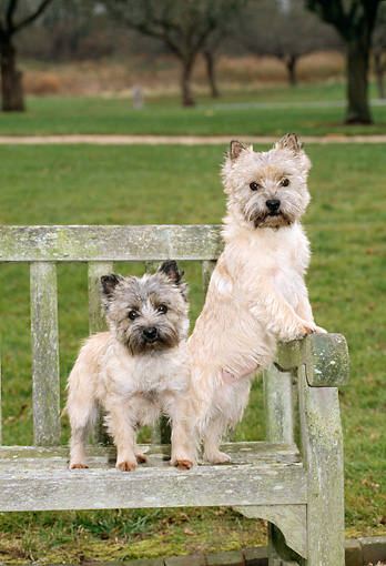 DOG 02 CE0017 01 © Kimball Stock Two Cairn Terriers Standing On Bench In Park