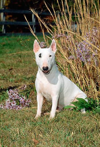 DOG 02 CE0018 01 © Kimball Stock Miniature Bull Terrier Sitting By Tall Grass And Wildflowers