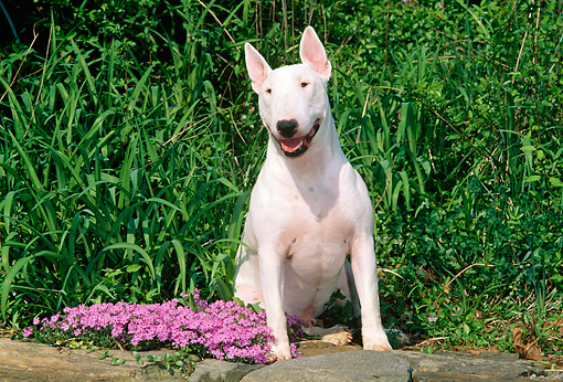 DOG 02 CE0019 01 © Kimball Stock Miniature Bull Terrier Sitting On Stone Wall By Flowers And Tall Grass