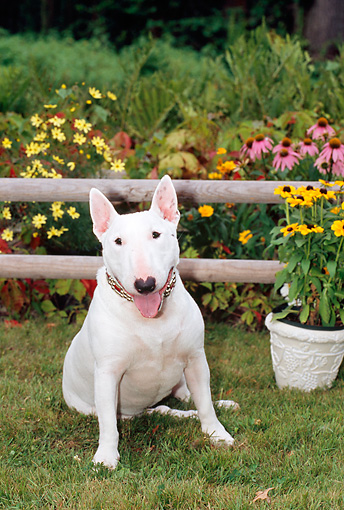 DOG 02 CE0021 01 © Kimball Stock Miniature Bull Terrier Sitting On Grass By Wooden Rail Fence And Flowers
