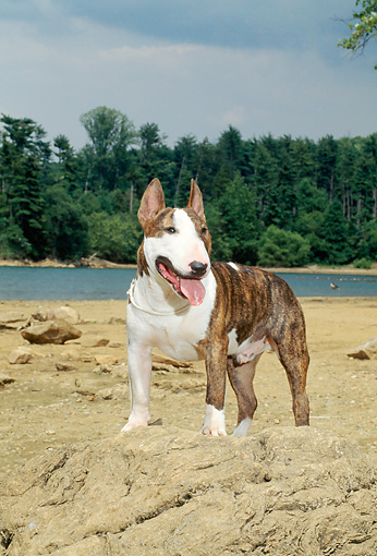 DOG 02 CE0022 01 © Kimball Stock Standard Bull Terrier Standing On Rock By Water