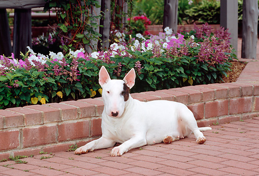 DOG 02 CE0023 01 © Kimball Stock Standard Bull Terrier Laying On Brick Patio By White And Purple Flowers