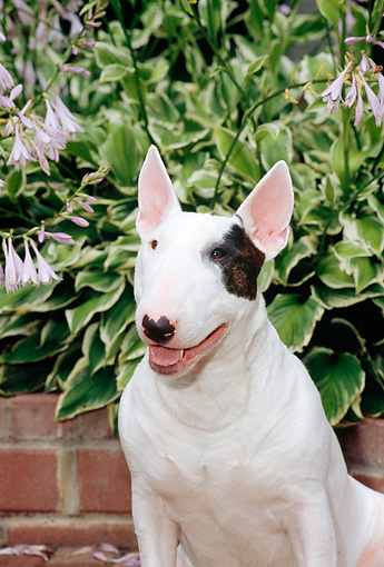 DOG 02 CE0024 01 © Kimball Stock Standard Bull Terrier Sitting On Brick Patio By Plants