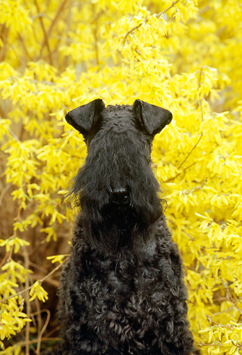 DOG 02 CE0026 01 © Kimball Stock Kerry Blue Terrier Sitting By Yellow Shrub