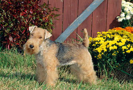 DOG 02 CE0028 01 © Kimball Stock Black And Tan Lakeland Terrier Standing On Grass By Flowers And Barn