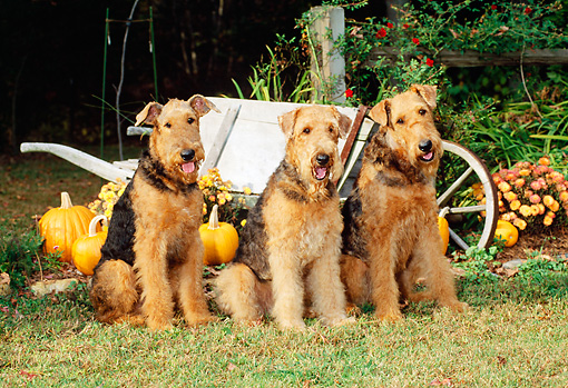 DOG 02 CE0029 01 © Kimball Stock Three Airedale Terriers Sitting On Grass By Wheelbarrow And Pumpkins