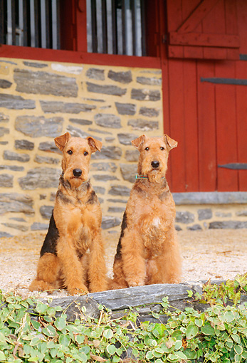 DOG 02 CE0030 01 © Kimball Stock Two Airedale Terriers Sitting By Red Barn