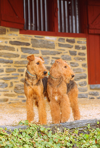 DOG 02 CE0031 01 © Kimball Stock Two Airedale Terriers Standing By Red Barn