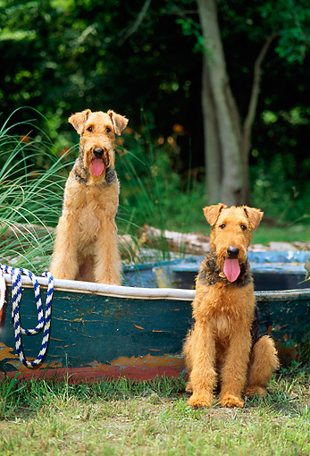 DOG 02 CE0032 01 © Kimball Stock Two Airedale Terriers Sitting In And Beside Rowboat On Grass
