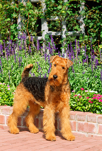 DOG 02 CE0039 01 © Kimball Stock Airedale Terrier Standing On Brick Patio By Flowers