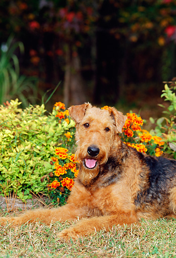 DOG 02 CE0041 01 © Kimball Stock Close-Up Of Airedale Terrier Laying On Grass By Flowers