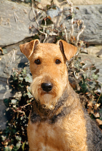DOG 02 CE0046 01 © Kimball Stock Shoulder Shot Of Airedale Terrier Sitting By Stone Wall
