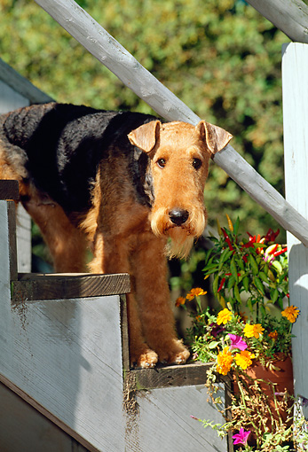 DOG 02 CE0047 01 © Kimball Stock Airedale Terrier Peeking Under Stair Railing By Flowers