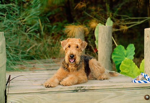 DOG 02 CE0048 01 © Kimball Stock Airedale Terrier Laying On Dock By Foliage