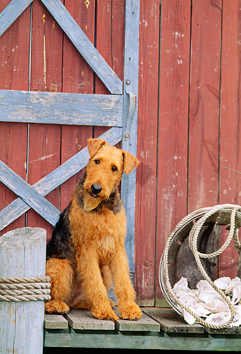DOG 02 CE0049 01 © Kimball Stock Airedale Terrier Sitting On Dock By Boathouse