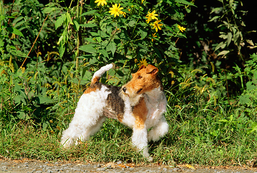 DOG 02 CE0050 01 © Kimball Stock Fox Terrier Standing By Foliage And Yellow Flowers