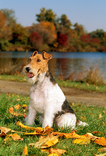 DOG 02 CE0052 01 © Kimball Stock Fox Terrier Sitting On Leaves By Lake Autumn Trees And Blue Sky