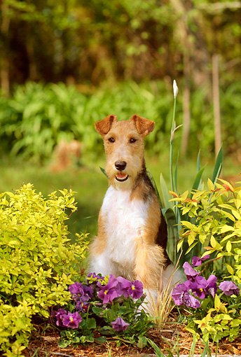 DOG 02 CE0053 01 © Kimball Stock Fox Terrier Sitting By Purple Flowers Shrubs Trees