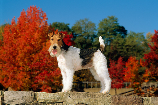 DOG 02 CE0054 01 © Kimball Stock Fox Terrier Standing On Stone Wall By Autumn Trees And Blue Sky