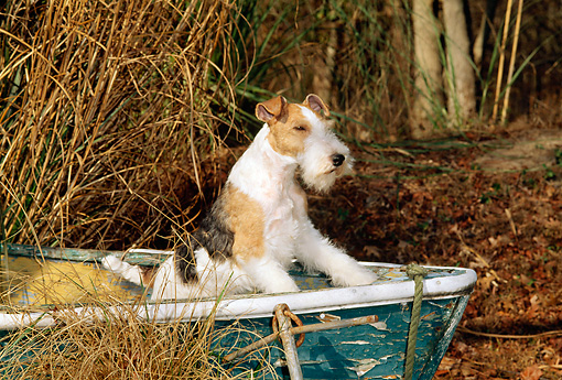 DOG 02 CE0056 01 © Kimball Stock Fox Terrier Standing In Rowboat By Tall Grasses Leaves And Trees
