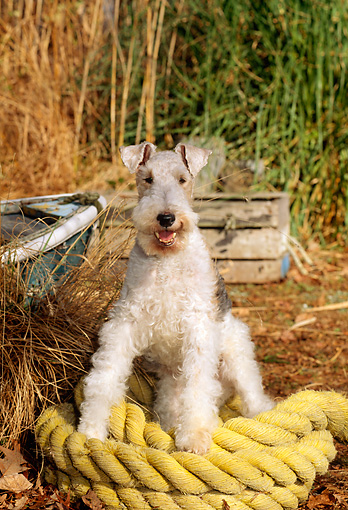 DOG 02 CE0058 01 © Kimball Stock Fox Terrier Sitting On Rope By Rowboat And Tall Grass