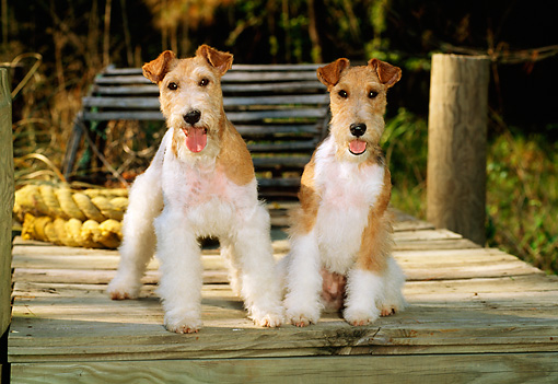 DOG 02 CE0059 01 © Kimball Stock Two Fox Terriers Sitting On Dock By Rope And Lobster Trap