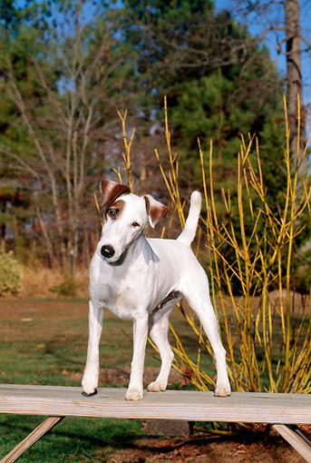 DOG 02 CE0060 01 © Kimball Stock Fox Terrier Standing On Bench By Shrub Trees And Blue Sky