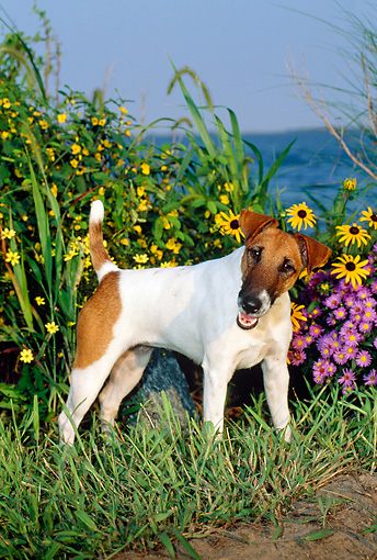 DOG 02 CE0061 01 © Kimball Stock Fox Terrier Standing On Grass By Flowers Water And Blue Sky