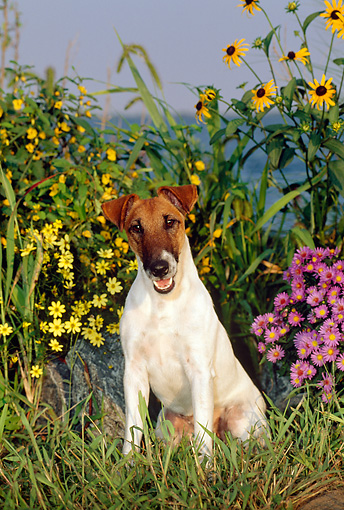 DOG 02 CE0062 01 © Kimball Stock Fox Terrier Sitting On Grass By Flowers Water And Blue Sky