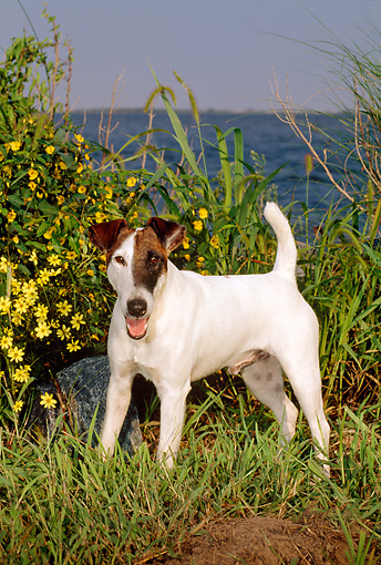 DOG 02 CE0063 01 © Kimball Stock Fox Terrier Standing On Grass By Flowers Water And Blue Sky