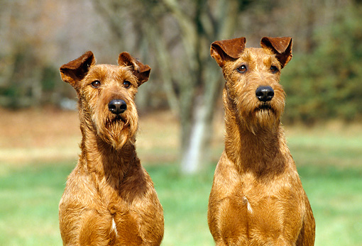 DOG 02 CE0067 01 © Kimball Stock Shoulder Shot Of Two Irish Terriers Sitting In Field