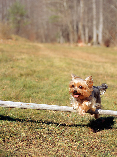 DOG 02 CE0068 01 © Kimball Stock Yorkshire Terrier Leaping Over Wooden Stick In Field By Trees