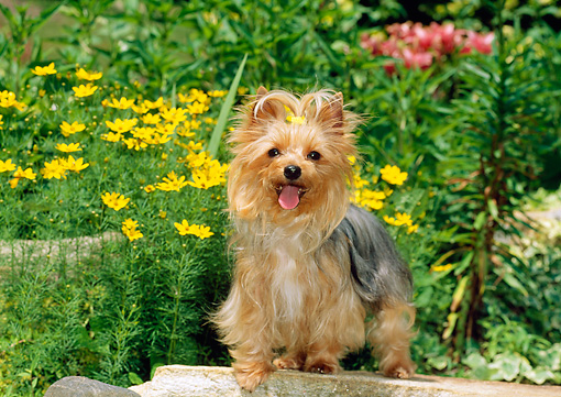 DOG 02 CE0069 01 © Kimball Stock Yorkshire Terrier Sitting On Stone Wall By Yellow Flowers In Garden