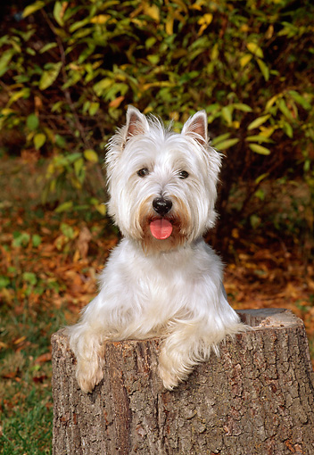 DOG 02 CE0070 01 © Kimball Stock West Highland White Terrier Standing In Hollow Tree Stump By Shrubs