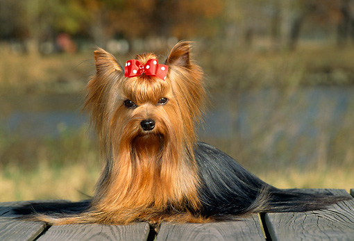 DOG 02 CE0072 01 © Kimball Stock Yorkshire Terrier Sitting On Deck By Pond