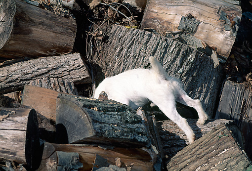 DOG 02 CE0076 01 © Kimball Stock Jack Russell Terrier Searching In Woodpile
