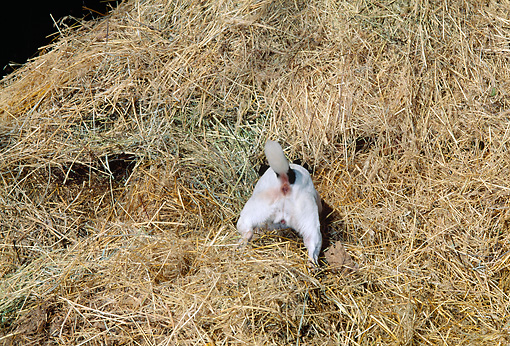 DOG 02 CE0077 01 © Kimball Stock Jack Russell Terrier Digging In Haystack