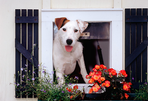 DOG 02 CE0081 01 © Kimball Stock Jack Russell Terrier Peeking Out Of Window By Flowers
