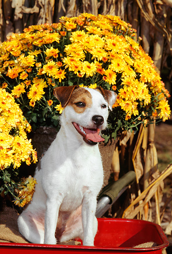 DOG 02 CE0086 01 © Kimball Stock Jack Russell Terrier Sitting In Red Wagon By Yellow Flowers