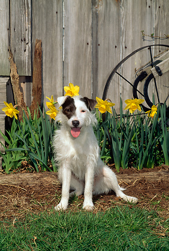 DOG 02 CE0087 01 © Kimball Stock Jack Russell Terrier Sitting By Yellow Flowers Barn