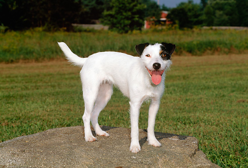 DOG 02 CE0090 01 © Kimball Stock Jack Russell Terrier Standing On Boulder In Field