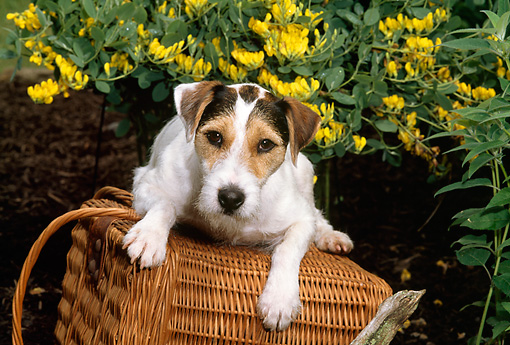 DOG 02 CE0091 01 © Kimball Stock Jack Russell Terrier Laying On Wicker Basket By Yellow Flowers