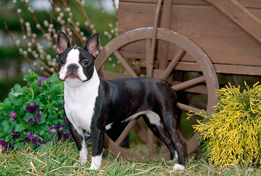 DOG 02 CE0092 01 © Kimball Stock Boston Terrier Standing By Flowers Wagon Shrub