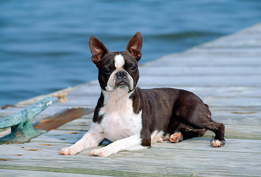 DOG 02 CE0093 01 © Kimball Stock Boston Terrier Laying On Dock By Water