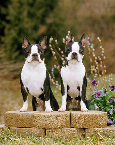 DOG 02 CE0094 01 © Kimball Stock Two Boston Terriers Stepping On Bricks By Flowers