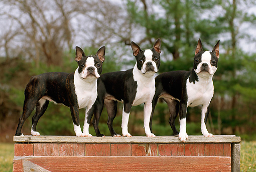DOG 02 CE0095 01 © Kimball Stock Three Boston Terriers Standing On Wooden Platform  By Trees
