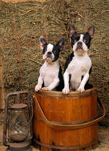 DOG 02 CE0096 01 © Kimball Stock Two Boston Terriers Standing In Wooden Bucket By Lantern And Hay In Barn
