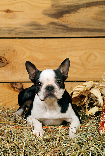 DOG 02 CE0097 01 © Kimball Stock Boston Terrier Laying On Hay In Barn